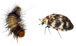 Carpet Beetle