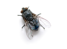 Flies Pest Control Harrow