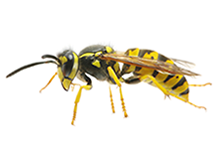 Wasps Pest Control Harrow