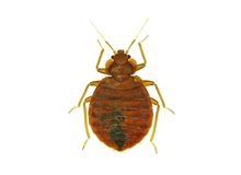 Bed Bugs Pest Control Harrow