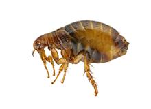 Fleas Pest Control Harrow