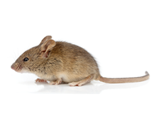 Mice Pest Control Harrow