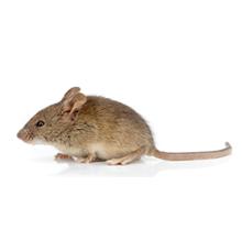Mice Pest Control Harrow