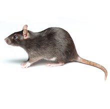 Rats Pest Control Harrow