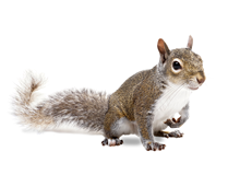 Squirrels Pest Control Harrow
